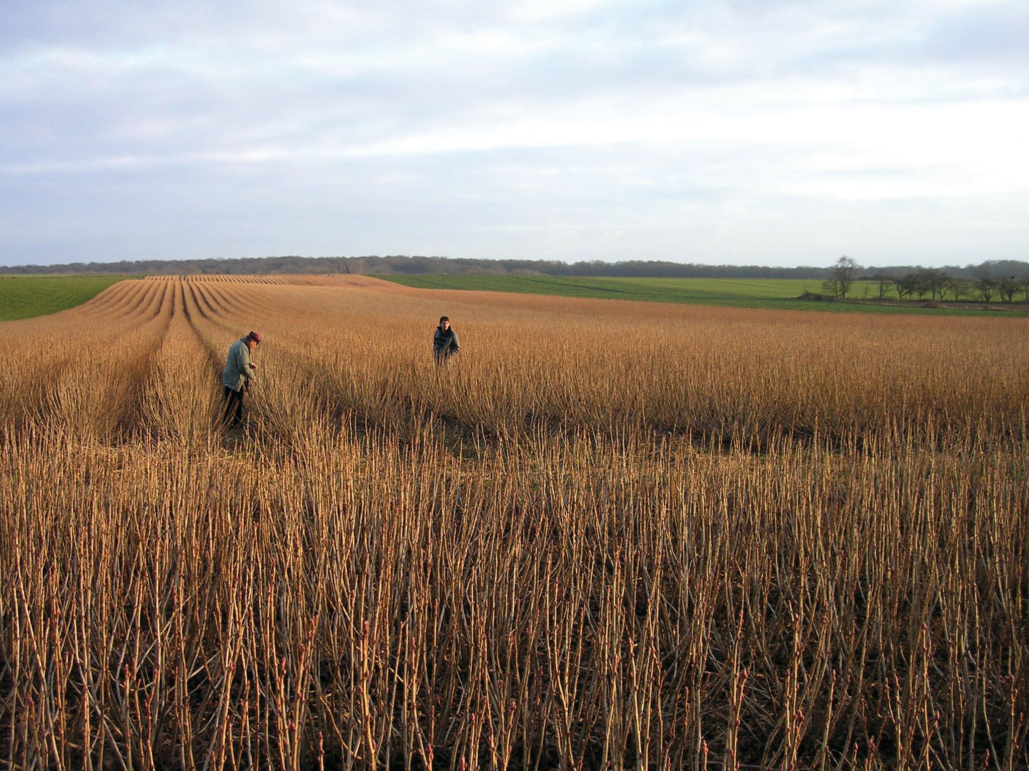 champs de cassis en hiver